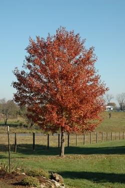 Redtree2